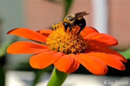 Urban Pollinator Garden Mary Prentiss Inn Cambridge copyright Kim Smith - 77