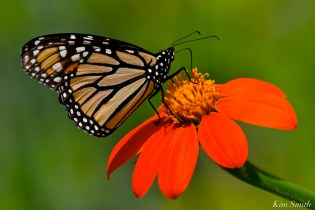 Mexican Sunflower Monarch Butterfly Tithonia rotundifolia -3 copyright Kim Smith