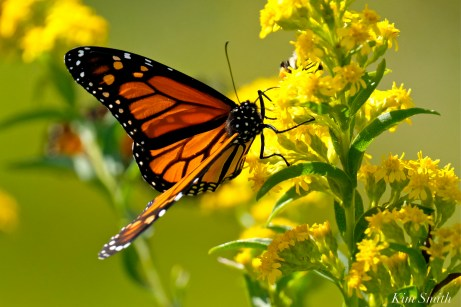Monarch Butterflies Seaside Goldenrod copyright Kim Smith - 01