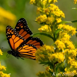 Monarch Butterflies Seaside Goldenrod copyright Kim Smith - 19 copy