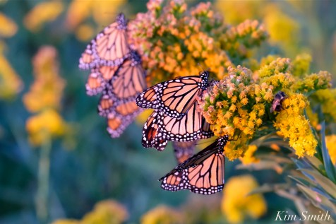 Monarch Butterflies Sleeping Seaside Goldenrod -1 copyright Kim Smith