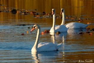Mute Swans Cygnus olor Gloucester MA copyright Kim Smith - 14
