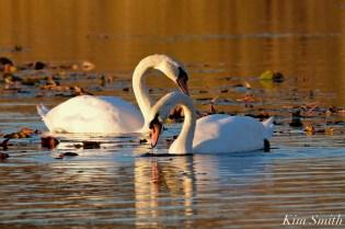 Mute Swans Cygnus olor Gloucester MA copyright Kim Smith - 17