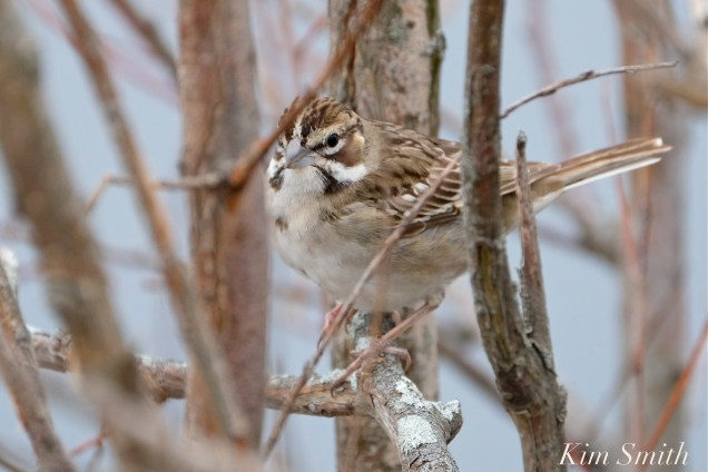 Lark Sparrow Gloucester MA copyright Kim Smith