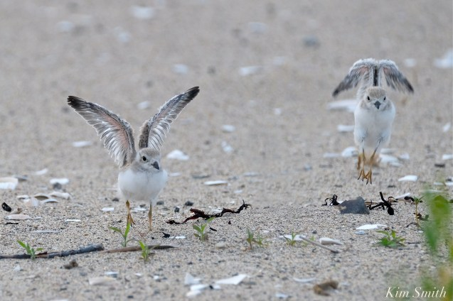 Lift Off Two Piping Plover Chicks copyright Kim Smith copy