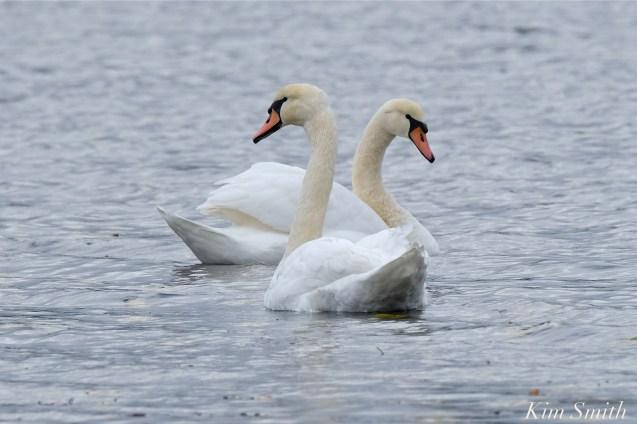 Mute Swans Cygnus olor Gloucester MA copyright Kim Smith - 06