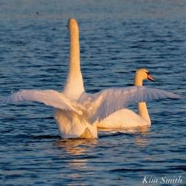 Mute Swans Cygnus olor Gloucester MA copyright Kim Smith - 29