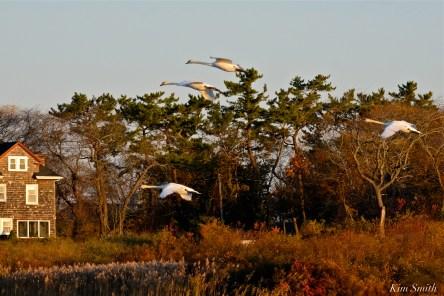 Mute Swans Cygnus olor Gloucester MA copyright Kim Smith - 37