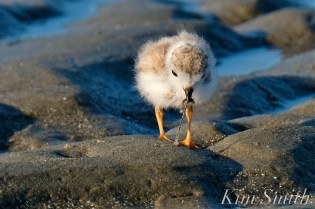Piping Plover Chick Foraging Seventeen Days Old copyright Kim Smith