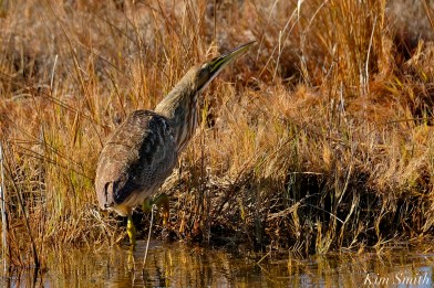 American Bittern Massachusetts copyright Kim Smith - 10