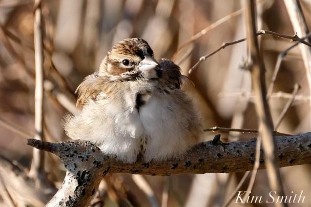 Lark Sparrow Massachusetts Gloucester copyright Kim Smith - 08