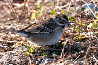 Lark Sparrow Niles Pond Brace Cove copyright Kim Smith - 11