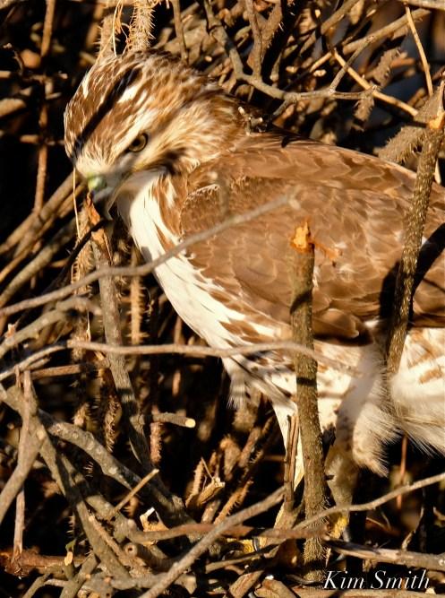 Red-tailed Hawk Massachusetts copyright Kim Smith - 06