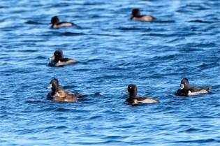 Ring-necked Ducks Niles Pond copyright Kim Smith - 25