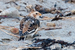 Snow Bunting Gloucester Massachusetts copyright Kim Smith - 2