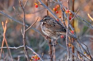 Song Sparrow Massachusetts Gloucester copyright Kim Smith - 12