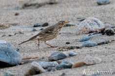 American Pipit 1-Gloucester Massachusetts copyright Kim Smith