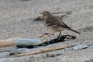 American Pipit 2-Gloucester Massachusetts copyright Kim Smith