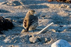 American Pipit Winter Wildlife Gloucester Massachusetts copyright Kim Smith - 08