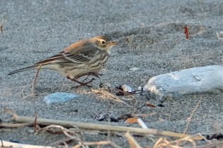 American Pipit Winter Wildlife Gloucester Massachusetts copyright Kim Smith - 11