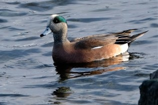 American Wigeon Winter Wildlife Gloucester Massachusetts copyright Kim Smith - 29