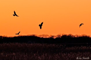 Northern Harrier Marsh Hawk -4 copyright Kim Smith