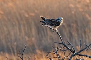 Short-eared Owl Parker River copyright Kim Smith - 07