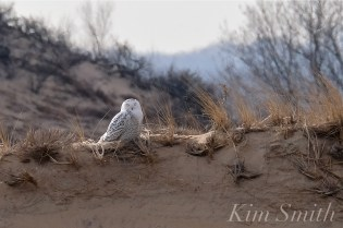 Snowy Owl Parker River Massachusetts copyright Kim Smith - 02