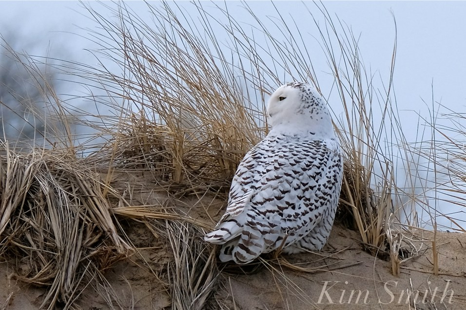 Snowy Owl Parker River Massachusetts copyright Kim Smith - 12