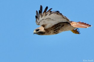 Red-tailed Hawk in Flight copyright Kim Smith - 6 of 9