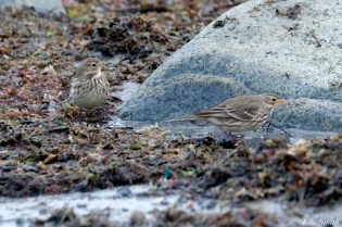 American Pipits copyright Kim Smith - 5 of 25