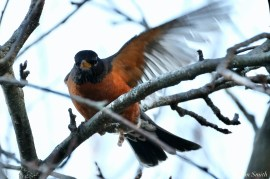 Americna Robin copyright Kim Smith - 4 of 6