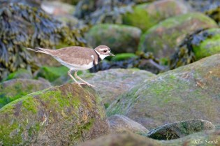 Kildeer Cape Ann Wildlife copyright Kim Smith - 22 of 27