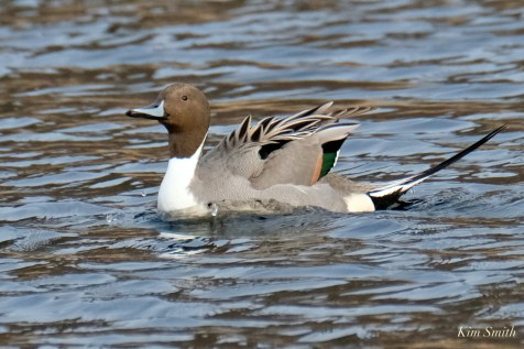 Northern Pintail Cape Ann Wildlife copyright Kim Smith - 1 of 27