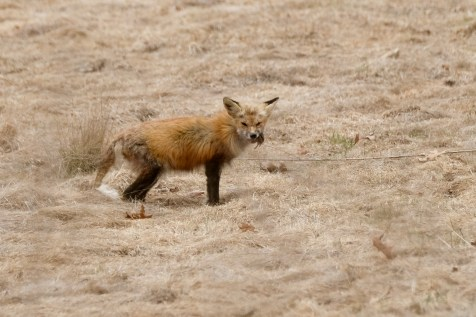 Red Fox Vulpes vulpes copyright Kim Smith - 1 of 18