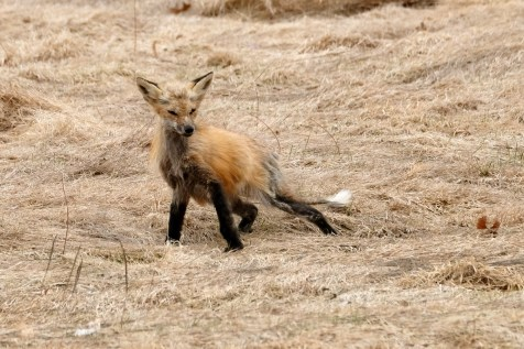 Red Fox Vulpes vulpes copyright Kim Smith - 12 of 18