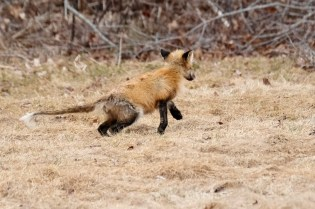 Red Fox Vulpes vulpes copyright Kim Smith - 17 of 18
