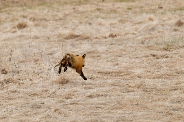Red Fox Vulpes vulpes copyright Kim Smith - 2 of 18