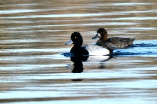 Scaup amle and female copyright Kim Smith - 18 of 25
