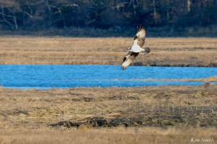 Osprey Annie Squam Lobstaland copyright Kim Smith - 4 of 9