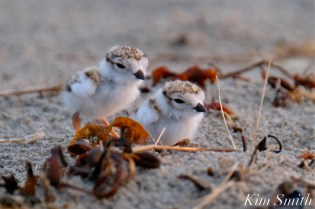 piping-plover-chicks-3-4-5-days-old-gloucester-ma-copyright-kim-smith-09-