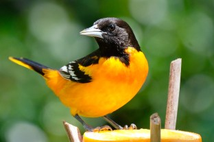 Baltimore Oriole Cape Ann Massachusetts copyright Kim Smith - 10 of 18