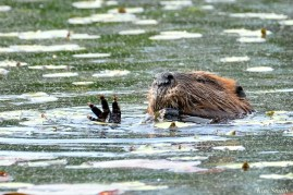 Beaver Eating Lilies copyright Kim Smith - 9 of 12
