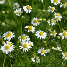 Chamomile_Common2