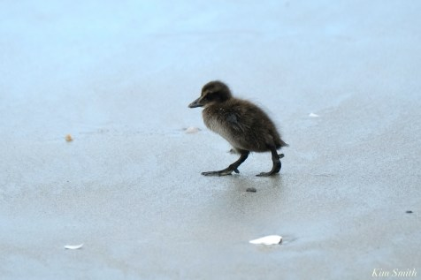 Common Eider Duckling Rescue copyright Kim Smith - 1 of 1