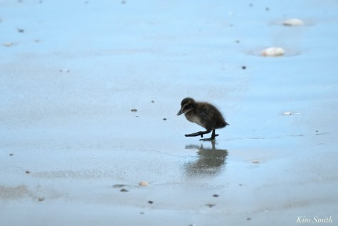 Common Eider Duckling Rescue copyright Kim Smith - 3 of 11