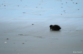 Common Eider Duckling Rescue copyright Kim Smith - 4 of 11