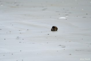 Common Eider Duckling Rescue copyright Kim Smith - 7 of 11