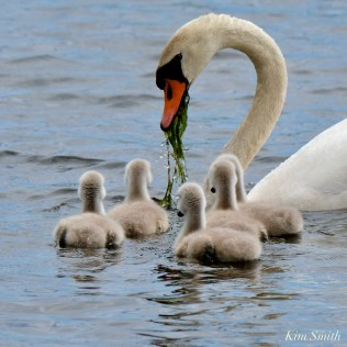 Cygnets copyright Kim Smith - 19 of 28