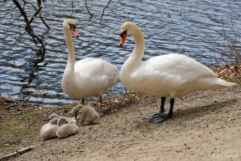 Mute Swans Male Female Cygnets copyright Kim Smith - 6 of 28